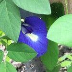 Clitoria ternatea Virág