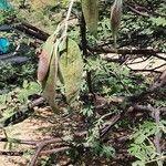 Acacia goetzei