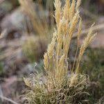 Deyeuxia vicunarum