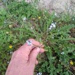 Myosotis arvensis Kvet