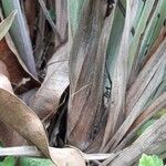 Cymbopogon citratus Rinde