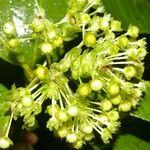 Miconia lateriflora