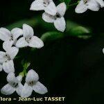 Asperula tinctoria