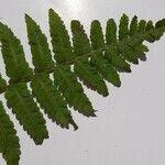 Dryopteris tyrrhena