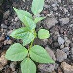 Phaseolus vulgaris Leaf