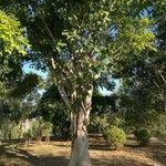 Ficus geniculata
