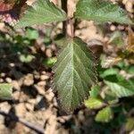 Rubus fruticosus Foglia