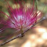 Calliandra bijuga