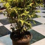 Pleioblastus viridistriatus Leaf