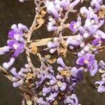 Lonchocarpus lanceolatus