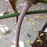 Anthurium clavigerum