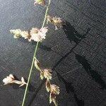 Eragrostis superba