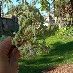 Quercus pubescens Feuille