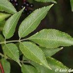 Sambucus nigra Levél
