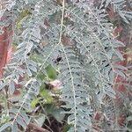 Leucaena leucocephala Leaf