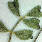 Astragalus pauperculus