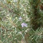 Rosmarinus officinalis Virág
