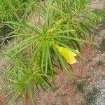 Thevetia peruviana Feuille