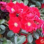 Rosa cinnamomea