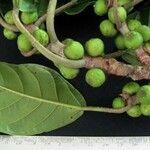 Ficus brevibracteata