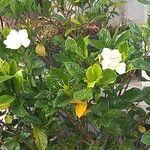 Gardenia augusta Blomma