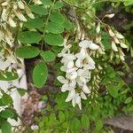 Robinia pseudoacacia Flor