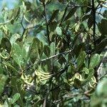 Aegiceras corniculatum