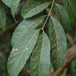 Olea dioica
