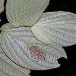 Piper arcteacuminatum