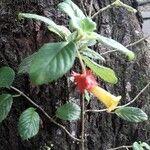 Crantzia cristata 花