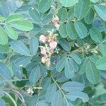 Indigofera tinctoria Pflanze