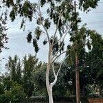 Eucalyptus camaldulensis ഇല
