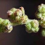 Chenopodium botrys