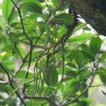 Huperzia obtusifolia