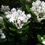 Alyxia sarasinii
