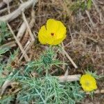 Argemone mexicana Flower