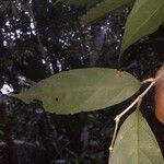 Leonia glycycarpa Lehti