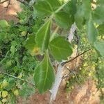 Commiphora holtziana