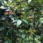 Camellia japonica Leaf
