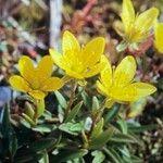 Saxifraga hirculus