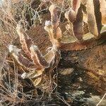 Desmidorchis foetida Koor