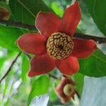 Uvaria grandiflora