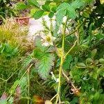 Rubus rosifolius Frukt