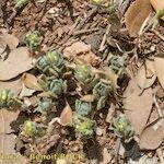 Helianthemum papillare
