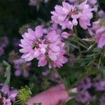 Coronilla varia Flor