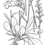 Anarrhinum corsicum