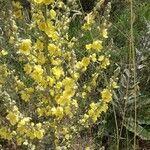 Verbascum pulverulentum