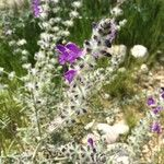 Salvia lanigera