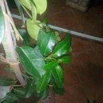 Trachelospermum jasminoides Leaf