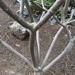 Euphorbia anachoreta